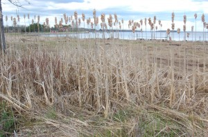Early Spring Cattails