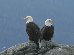 Eagles looking up Lutak Inlet