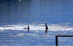 A cow and calf Orca (Killer Whales) swimming past the ferry in the Wrangell Narrows.