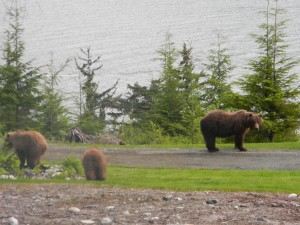 Early morning at the traiilhead. Sow brown bear & cubs.   by Angie