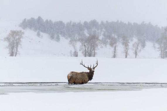 leave no trace principles: elk standing in frozen river in Yellowstone National Park, MT