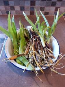 Corms and tender shoots of the day lily