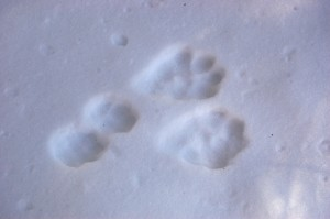 Snowshoe hare on the fly in shallow snow.  I've never seen them this distinct before.