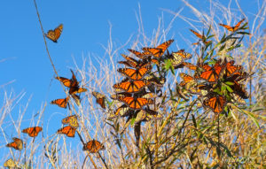 Monarch for Pheasants Forever Habitat