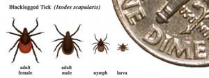 Learn to identify the black-legged tick http://www.cdc.gov/lyme/transmission/blacklegged.html