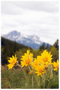 wimpy arnica montano flower